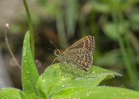 Veined Scrub Hopper, Aeromachus stigmata, Butterfly, Sikkim, India