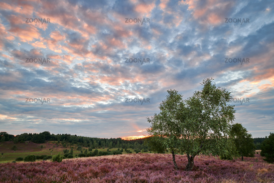 Lüneburg Heath at sunset