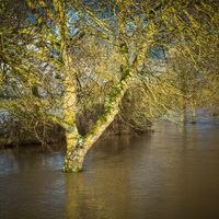 Tree in flood water
