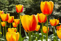 Beautiful red and yellow tulips
