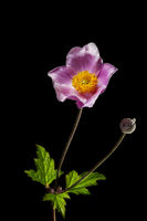 Anemone hupehensis with one buds _ Herbst-Anemone