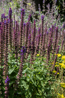 Sage plants with blue inflorescences as crops and medicinal plants in the field