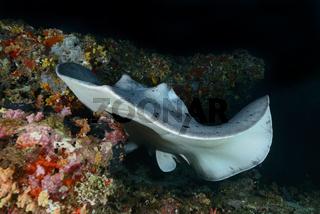 Taeniurops meyeni, Schwarzpunkt Fleckenstechrochen, Round ribbontail ray, Malediven, Maldives