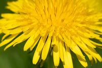 Fascinating details in the dandelion heart