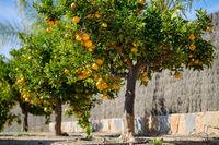 Mandarin trees outdoor, sunny day, nobody. Spain
