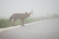 Wild red fox attempting to cross a road in foggy weather.