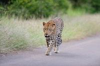 Leopard in the wilderness