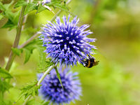 blue thistle with a bumble-bee