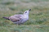 European Herring Gull juvenile bird in first-winter plumage drinking