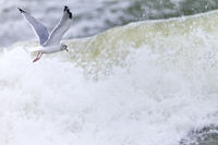 European Herring Gull in search of food in the surf