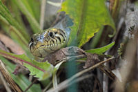 Water snake (Natrix natrix)