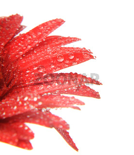 Red gerbera with waterdrops