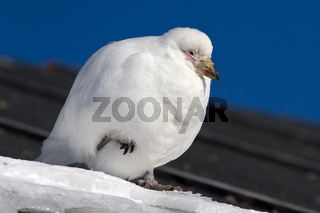 Snowy Sheathbill sitting on the roof of the Antarctic station tucked foot