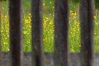 Buttercups seen through a fence