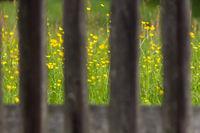 Buttercups seen through a fence