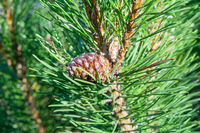 Detail of fresh spruce fir tree branches with young green needles and cones