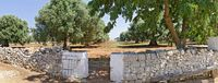 dry stone wall and entrance to a plantation with mighty old olive trees