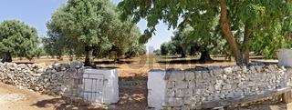 Trockensteinmauer und Eingang zu einer Plantage mit mächtigen alten Olivenbäumen