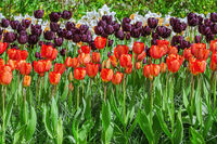 Different Kinds of Tulips