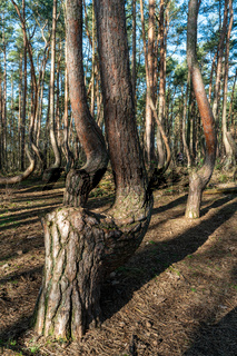 The crooked forest Krzywy Las in Poland