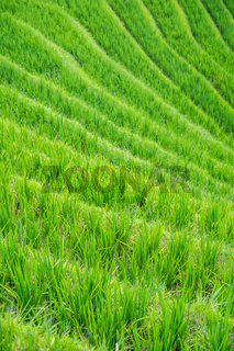 Rice growing on Longji Rice Terraces