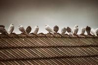 Doves in the Rain