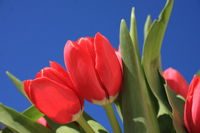 Red tulips detail