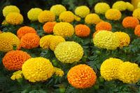 Marigolds Mixed Color (Tagetes erecta, Mexican marigold)