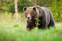 Surprised brown bear coming closer on green glade in summer nature.