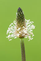 Plantago lanceolata on green background_Plantain plant