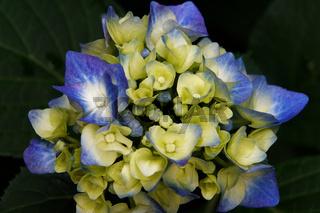 Nahaufnahme einer blau-gelben Hortensienblüte vor einem dunklen Hintergrund