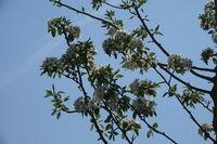 Pyrus communis, Wild Pear