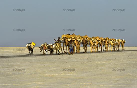 dromedary caravan transports salt slabes over Assale salt lake, Ethiopia