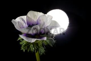 Pflanzenportrait Anemone
