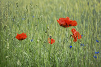 Poppies and cornflowers - splash of colour in the meadow