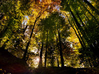 Autumn in the forest with sun rays. Green, orange and yellow leafs in autumn time in a Swiss forrest