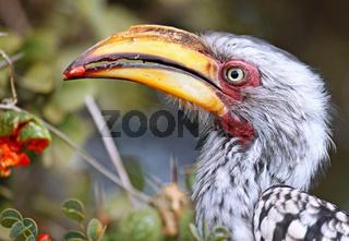 Gelbschnabeltoko frisst Frucht, Kruger Nationalpark, southern yellow-billed hornbill, Tockus leucomelas, Südafrika