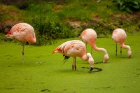A group of pink flamingos in a pond