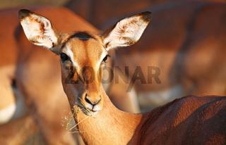Impala im Kruger Nationalpark, Südafrika, Schwarzfersenantilope, Impala in South Africa, Aepyceros melampus