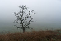 Single tree with meadow in the foreground and fog