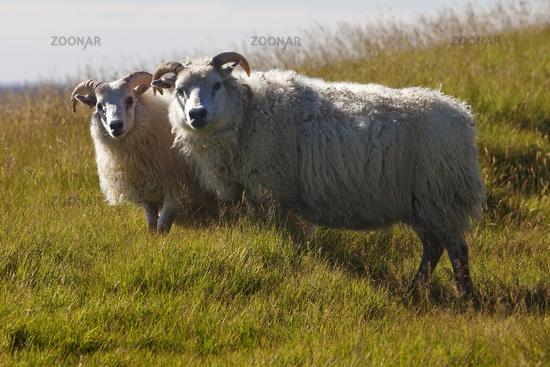 Sheep (Ovis), mother with a cub, Kirkjubæjarklaustur, Iceland, Europe