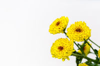 chrysanthemum flower isolated