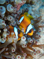 Red Sea clownfish