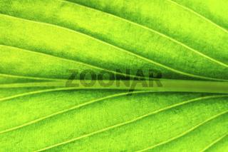 green leaf green leaf