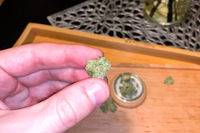 Small dried cannabis inflorescence. Dope marijuana from hemp inflorescences.