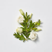 Greeting card beautiful white roses with evergreen twigs.