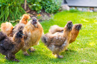 Silkie hens and rooster looking for food in garden. Silkie - breed poultry with fluffy and black leather. Selective focus image.