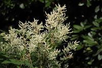 Himalayan knotweed (Aconogonon polystachyum)
