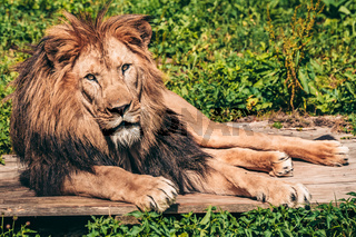 Lion lying on the grass with a calm face expression