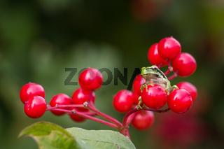 European Treefrog or Hyla arborea